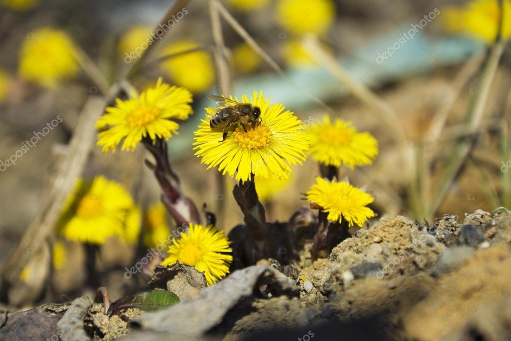 huflattich die erste gelbe fr hlingsblumen und biene stockfoto pixelman 67927407. Black Bedroom Furniture Sets. Home Design Ideas