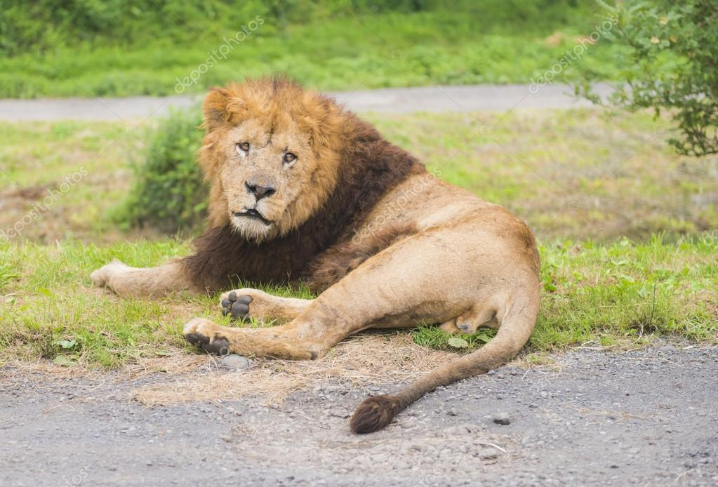 Lion resting on grass and looking at camera.