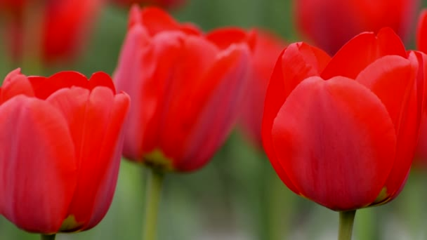 Red tulip in spring time