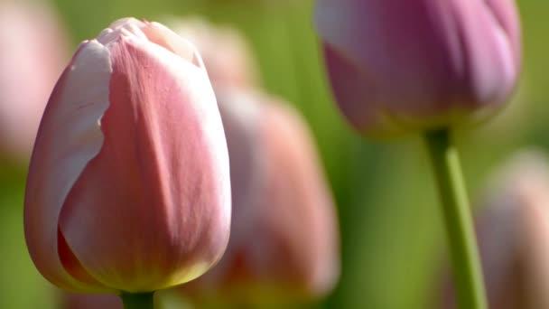 Tulip tavaszi idő