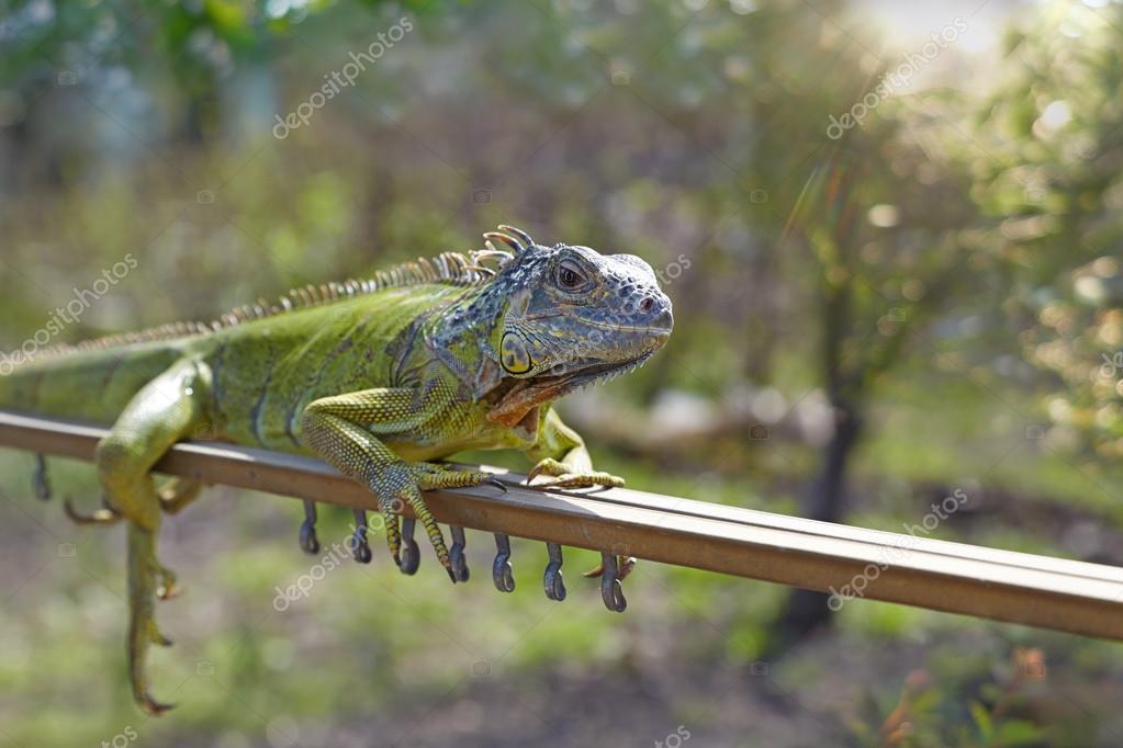 An iguana basking in the morning sun.