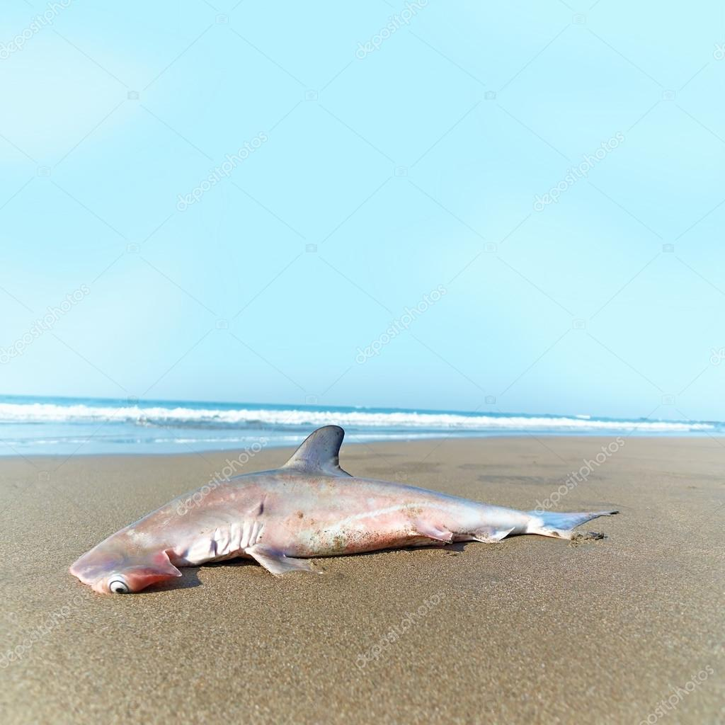 Hammerhead shark on the beach. Goa, India.