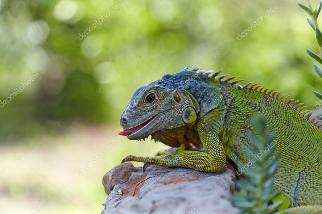 Green iguana walking and sticks out his tongue. Around - stones