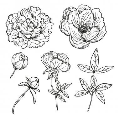 hand drawn peonies set