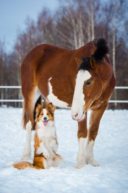 Draft horse and red border collie dog