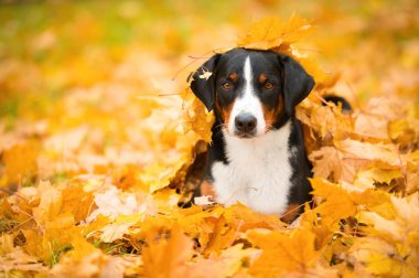 Tricolor Appenzeller Mountain Dog lying on maple leaves