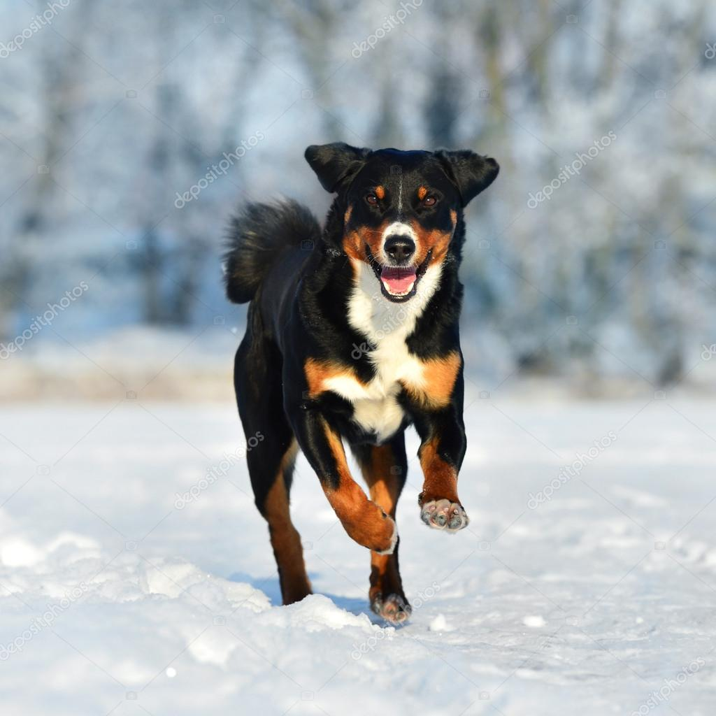Swiss Tricolor Appenzeller Sennenhund Dog Runs On The Snow