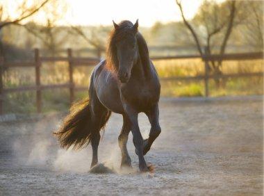 Black Frisian horse runs gallop in freedom