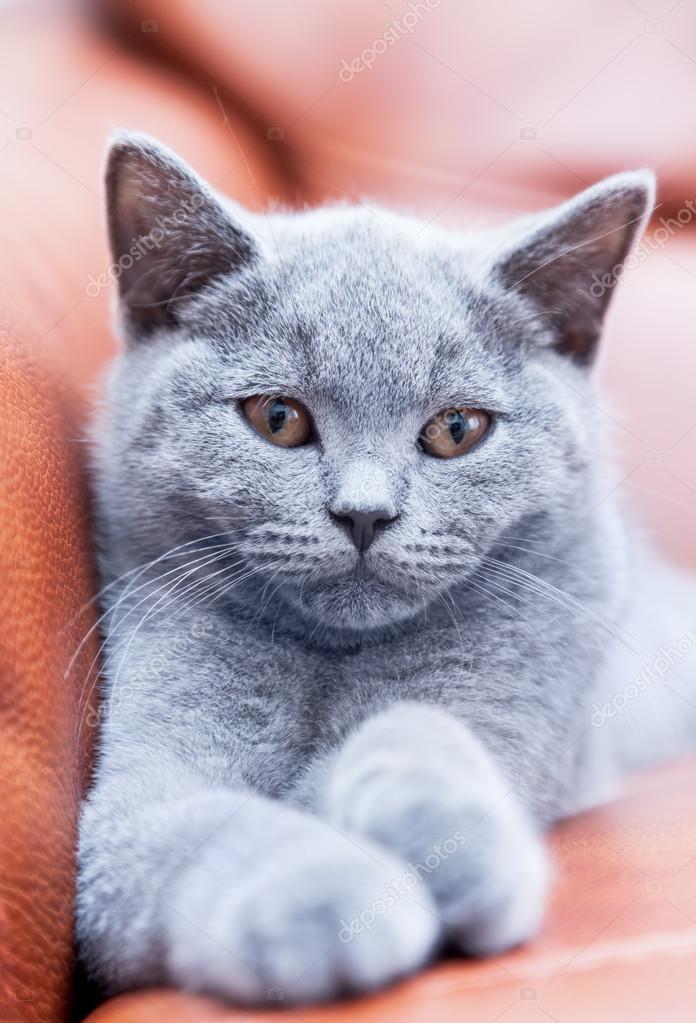Kot Brytyjski Krótkowłosy Zdjęcie Stockowe Photocreo 119574810