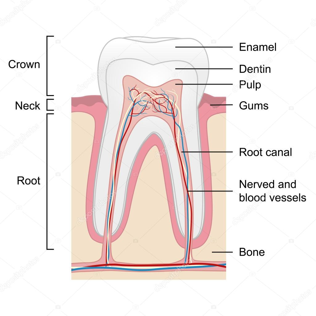 Human tooth anatomy isolated on white background, vector — Stock ...