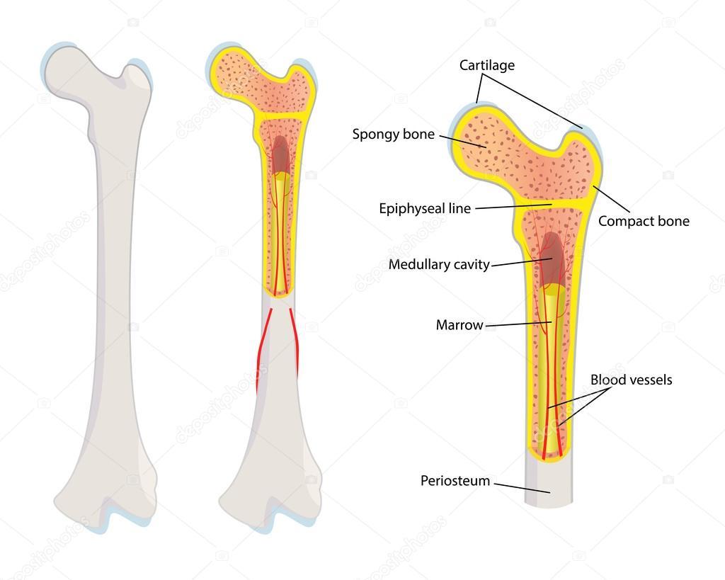 Anatomie der menschlichen Knochen, Vektor — Stockvektor © wawritto ...