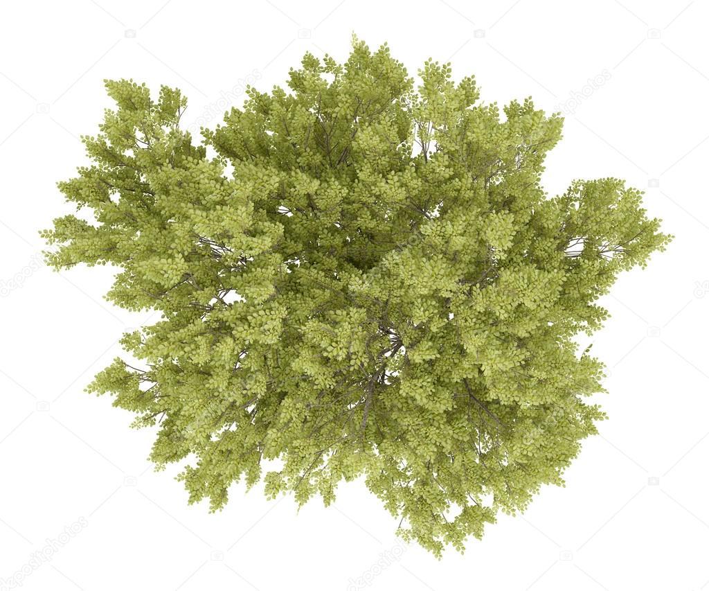 Vista superiore dell 39 albero di faggio comune isolato su for Albero ulivo vettoriale