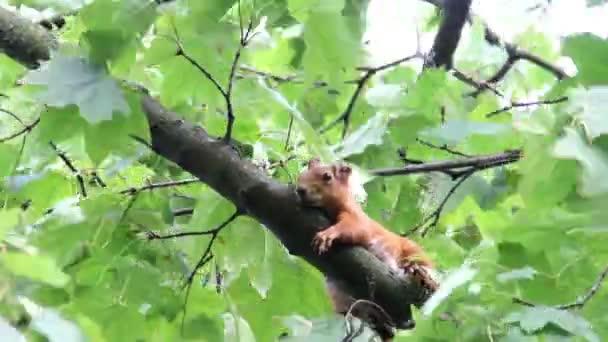 červené squirell na stromě