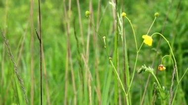 Meadow tall grass and yellow flowers zooming from extreme long meadow grass close up mightylinksfo