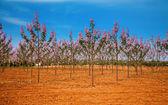 Fotografie Paulownia trees plantation