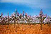 Fotografie paulownia trees plantation in Mallorca