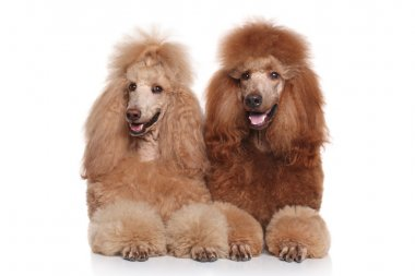 Two brown Standard Poodles