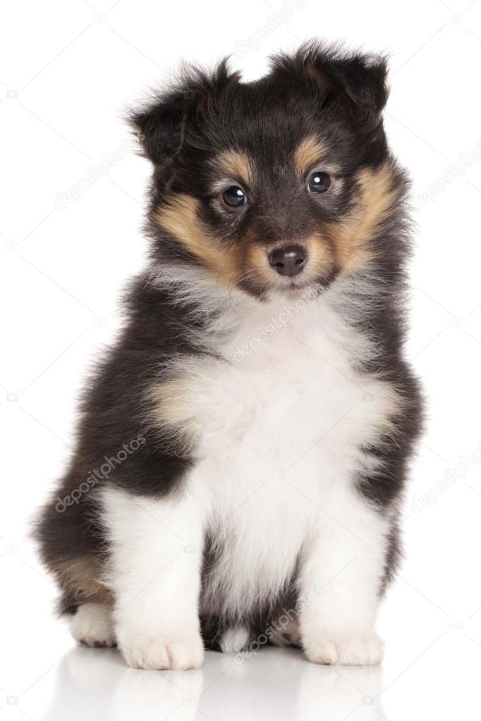 sheltie pup op witte achtergrond stockfoto fotojagodka 67229569
