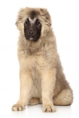 Caucasian Shepherd puppy 5 month