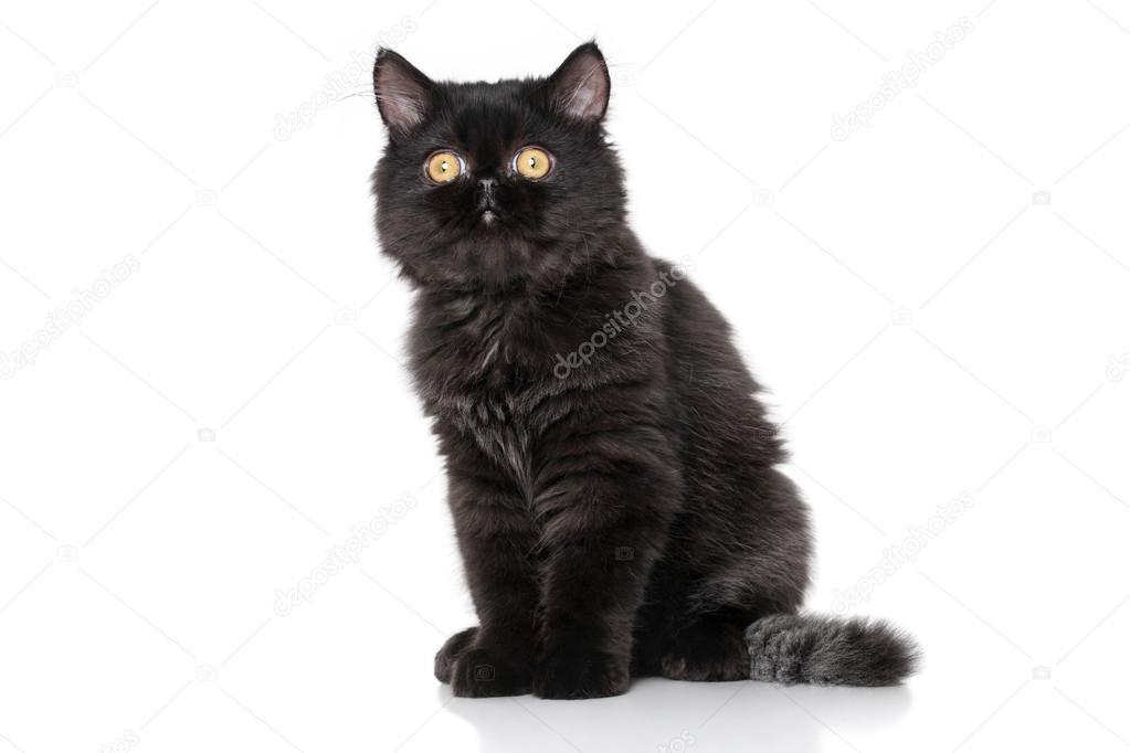 Czarny Kot Perski Zdjęcie Stockowe Fotojagodka 79939862