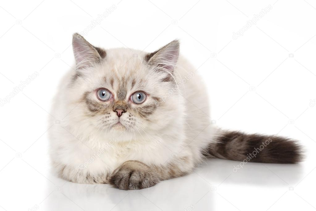Criadero gato exotico pelo corto mexico