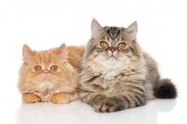 Pair of Persian cats