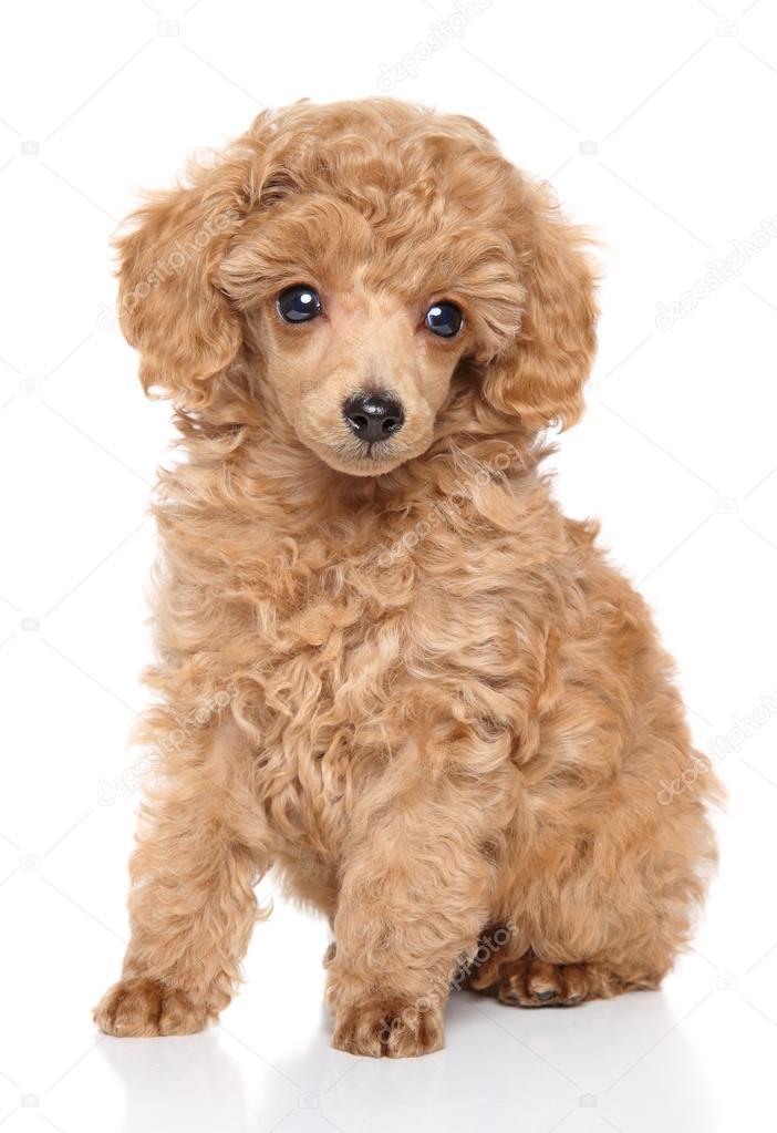 Toy Poedel Pup Stockfoto 169 Fotojagodka 94703006