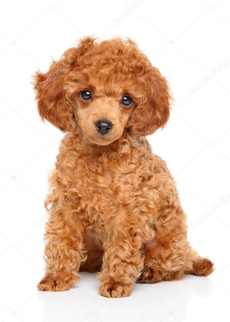Toy Poodle Puppy Stock Photo C Fotojagodka 96178580