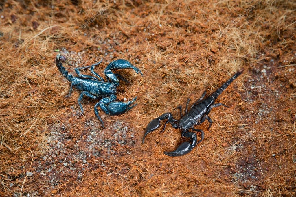 Imágenes De Escorpiones Venenosos Escorpiones Venenosos En La