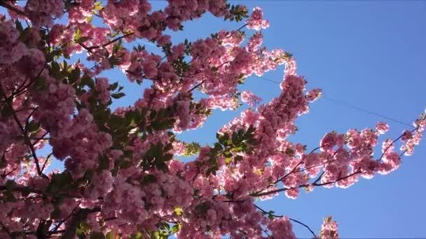 růžový Třešňové květy s modrou oblohou