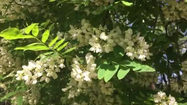 Květ bílý akát a Beruška