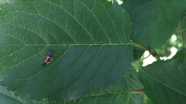 Larvy Beruška na listu třešeň