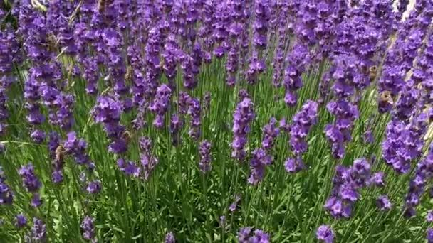 včely opylují květy levandule