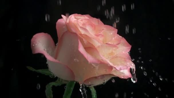Rain drops falling on pink rose. Slow motion