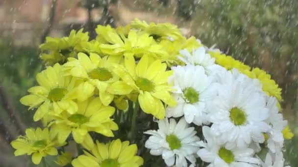 White and yellow daisy flowers in the rain. Slow motion shot