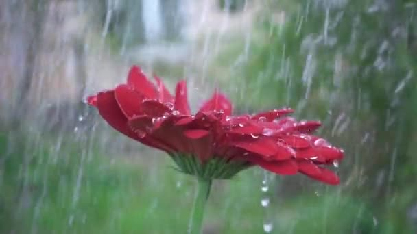 Droplet on a red gerbera flower petal while raining. Red daisy gerbera with waterdrops. Slow motion