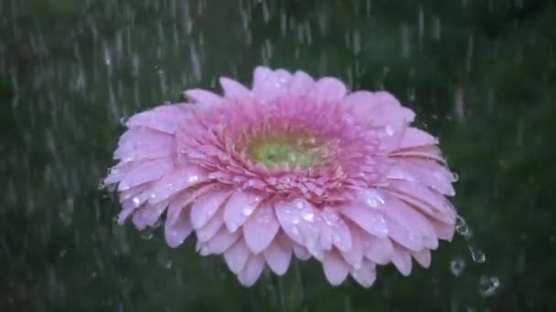 Pink daisy gerbera flower under the rain. Slow motion