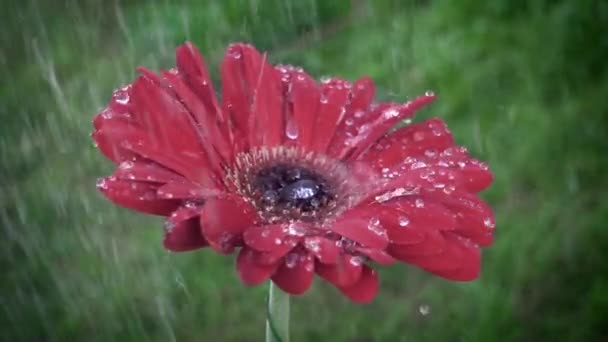 Red daisy gerbera flower with waterdrops in the rain