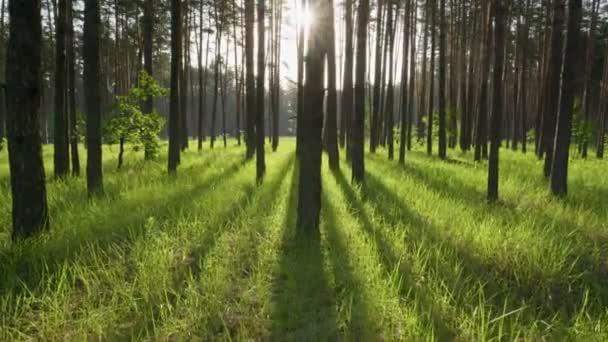 Procházka v jarním lese brzy ráno. Slunce proniká kmeny stromů a osvětluje zelenou trávu. Skvělé místo pro procházky v přírodě a čerstvý vzduch. Gimbal vysoce kvalitní výstřel, 4K