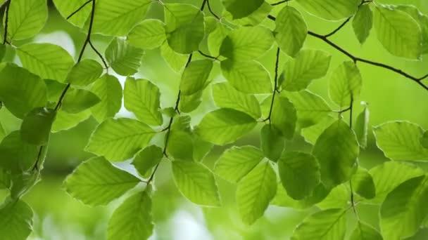 Zelené čerstvé listy vlnící se v pozadí větru. Jarní buk listí s krásným bokeh. Jarní přírodní koncept