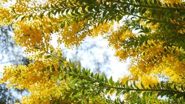 Na jaře žlutý akát strom v parku. Barcelona, Španělsko