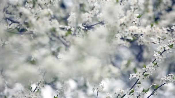Cherry blossoms in springtime. Sliding camera