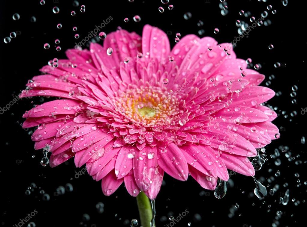 Fleur De Gerbera Rose Dans La Pluie Photographie Silverjohn