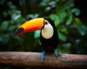 Photo Toucan on the branch in tropical forest of Brazil