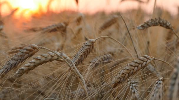 Ears of wheat at sunset lights.