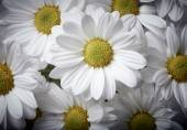 Chamomile background 1
