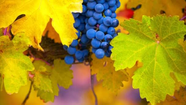pobočka červeného hroznového vína