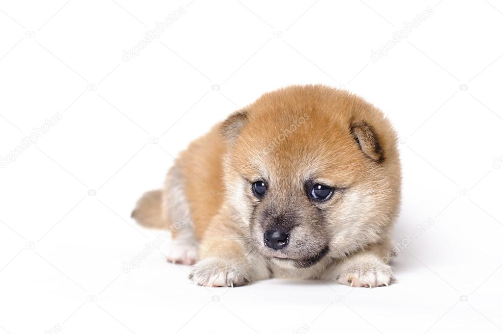 Japanese Shiba inu puppy