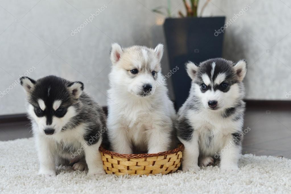 Cucciolo di siberian husky con gli occhi azzurri foto - Husky con occhi diversi ...