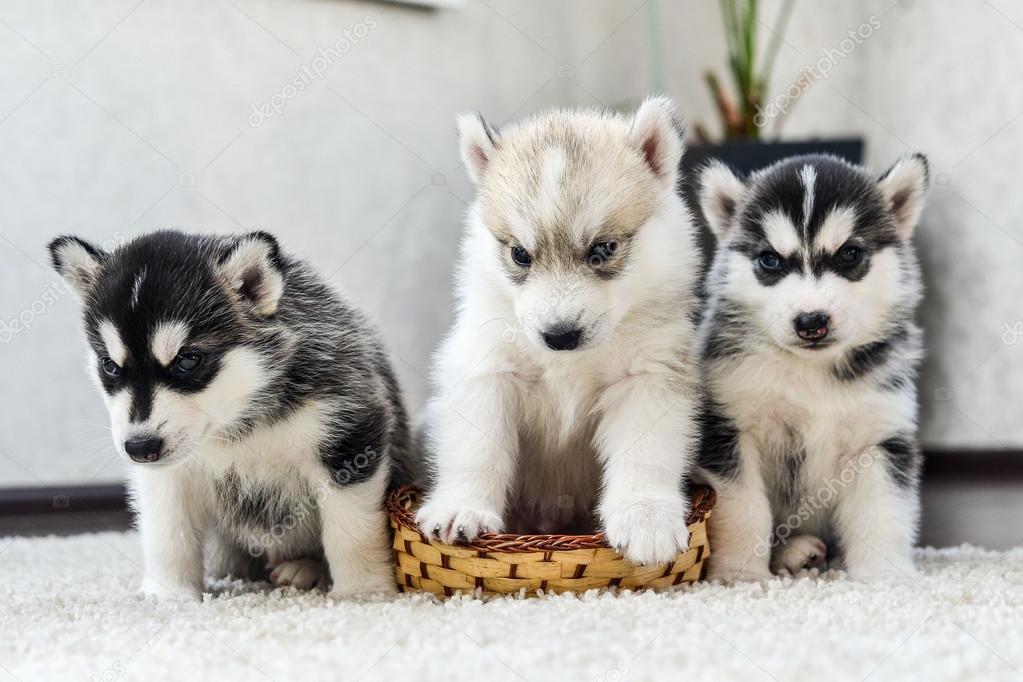 Cucciolo di siberian husky con gli occhi azzurri foto stock alex s 100789988 - Husky con occhi diversi ...